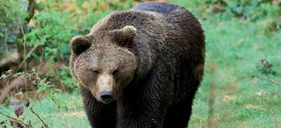 Young cosa vede una persona inseguita da un orso for Cabina di montagna grande orso