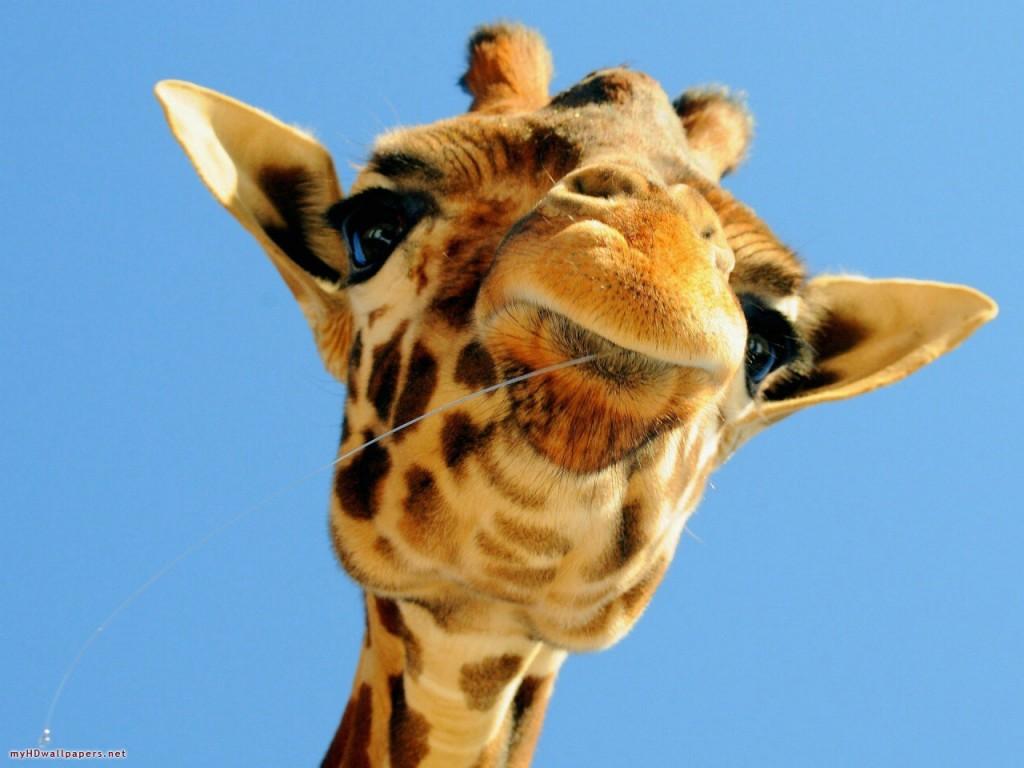 Funny-baby-giraffe-1280x960